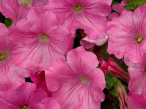 cvety0562