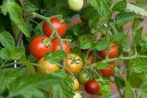 1447684126_tomaty